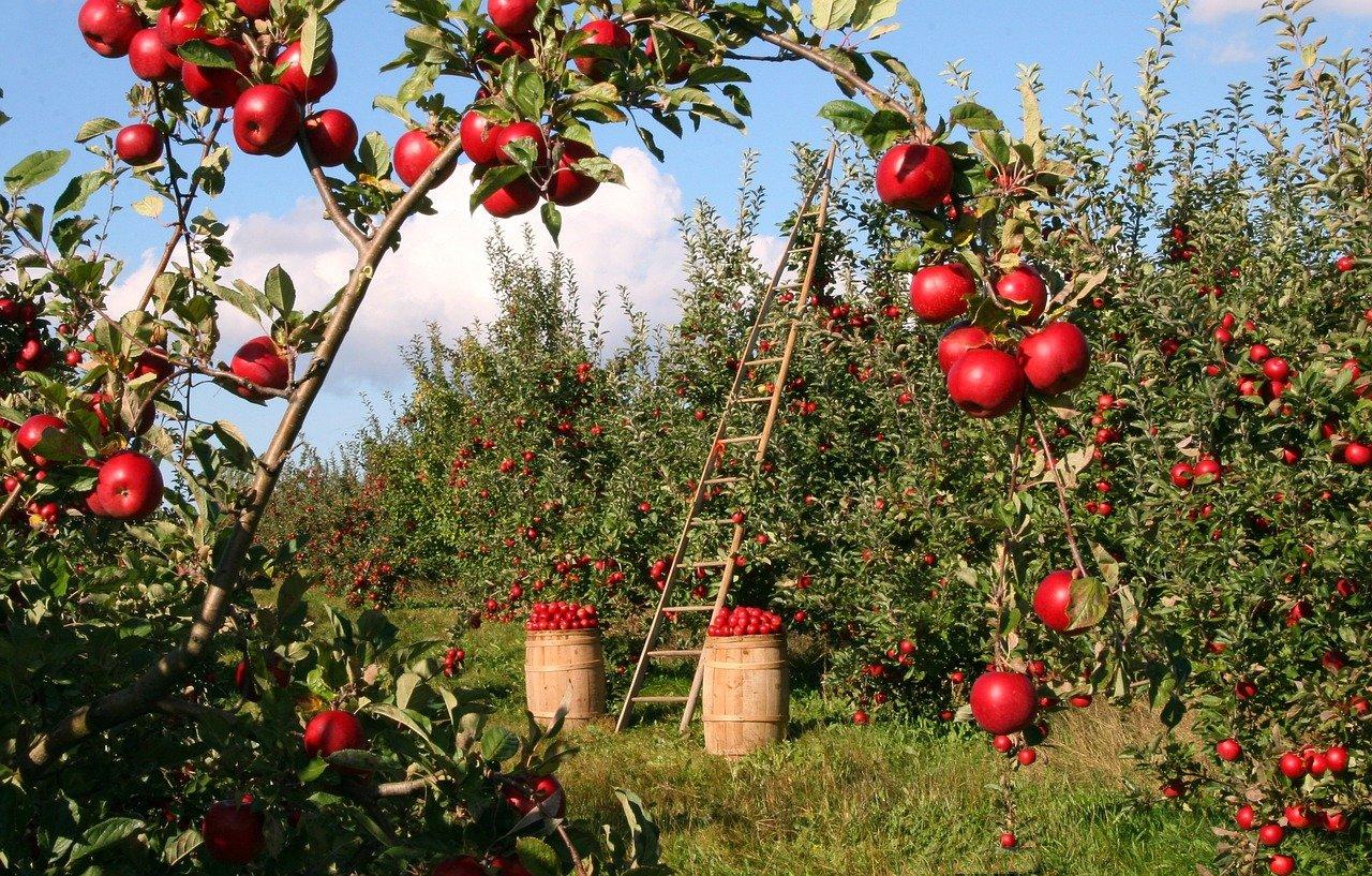 apple, orchard, apple trees